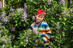 A boy in a spring garden with blooming lilacs . Cute boy in spring garden with blooming lilac . Children`s walks in the fresh air stock image