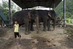 A boy stand beside two elephants in a Thailand village Stock Photo