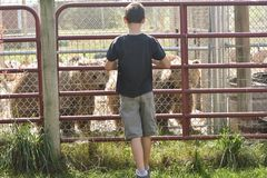 Boy Looking at Two Bears Stock Photos
