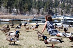 Boy on stomach in field of ducks Royalty Free Stock Photos