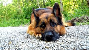 German Shepherd Male. This boy take a break from walking in the black forest Royalty Free Stock Photo