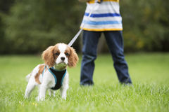 Boy Taking Puppy For Walk On Lead Stock Images