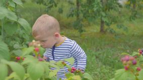 The boy tears raspberries from the bushes and eats it in the garden. 4k. Little boy picking raspberries in the garden stock video