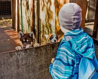 A boy and three-month-old husky puppies. Aun royalty free stock images
