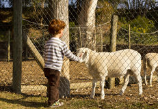 Boy touching sheep Royalty Free Stock Image