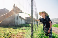 Boy traveler feeds a llama on llama farm Stock Photos