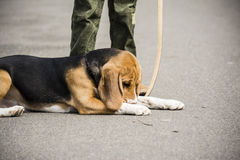 Boy walking with beagle Stock Images