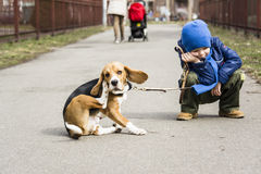 Boy walking with a beagle Stock Image