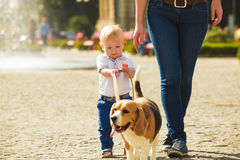 Boy is walking the dog. Little boy is walking the beagle dog with his mom stock images