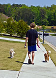 Boy Walking Dogs. A preteen aged boy walking two dogs on a sidewalk in a suburban neighborhood royalty free stock photography