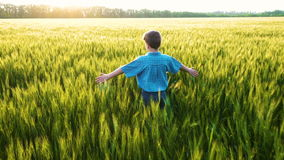 Boy walking on wheat field and touching the green ears stock video