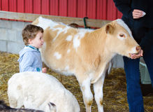 Boy Watches a Person Feed a Calf Royalty Free Stock Photos