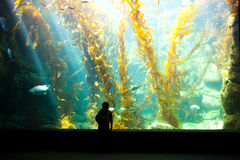 Boy watching kelp forest Stock Photography
