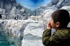 A boy watching the penguins. A boy is watching the penguins attentively  in an aquarium Stock Photography