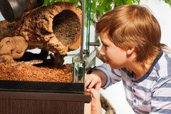 Boy watching Royal python at the terrarium Royalty Free Stock Image