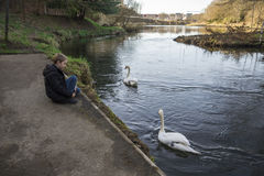 A boy is watching two white swans in river Don at Seaton park, Aberdeen. Scotland Royalty Free Stock Images