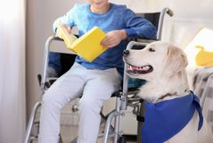 Boy in wheelchair reading book with service dog. By his side indoors Royalty Free Stock Image