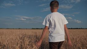 A boy in a white T-shirt is walking along the golden wheat field stock footage