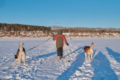 Boy 10 years old comes with two siberian husky on snowy field Small child owner leads on leashes husky dogs. Back view landscape