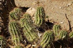 Boyce - Thompson hedgehog cactus Royalty Free Stock Photography