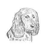 Boykin Spaniel. Duck hunter dog Royalty Free Stock Photography