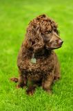 Boykin Spaniel Stock Photos