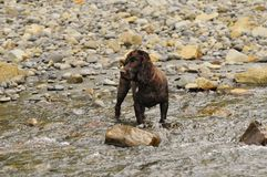 A Boykin Spaniel stands in a stream waiting for something top happen Royalty Free Stock Photo