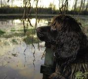 Boykin Spaniel waiting for ducks to retreive. stock photo