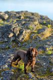 Boykin Spaniel Waiting for her Human stock images