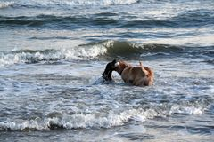 Boykin spaniel and yellow lab playing in ocean waves at the beach in Charleston South Carolina.  Stock Image