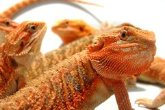 The boys. A gang of bearded dragons, not quite impressed Stock Photo