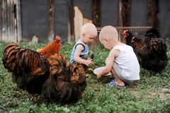 Boys feed chickens and farm animals on their father`s farm in the countryside.  Royalty Free Stock Photos
