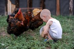 Boys feed chickens and farm animals on their father`s farm in the countryside.  Royalty Free Stock Photography