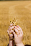 Boys hands holding up cut wheat Royalty Free Stock Photography