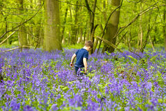 Boys playing in the bluebell woods. Boys playing in magical bluebell woods UK Stock Photography