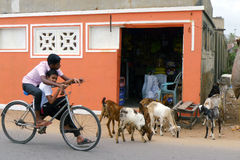 Boys share a Negombo road with a herd of goats, Sri Lanka. Stock Photography