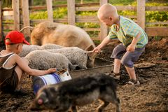 The boys take care of the pigs and feed them. The concept of small farms.  Royalty Free Stock Photo