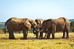 Boys will be Boys - African Bush Elephant. Boys will be Boys - The African bush elephant is the larger of the two species of African elephant. Both it and the royalty free stock photo