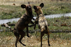 African Wild Dogs Playing Royalty Free Stock Image