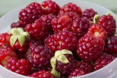Boysenberry- Rubus ursinus x idaeus. These are boysenberries that are a cross between blackberries, raspberries, and loganberries. These make great jams, jellies royalty free stock photos