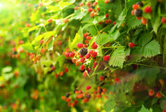 Boysenberry bush in summer day. A photo of boysenberry bush in summer day stock photos