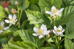 Boysenberry plant flowers and leaves. Closeup of boysenberry plant flowers and leaves stock image