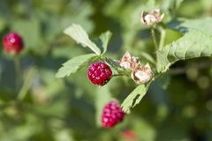 Boysenberry- Rubus ursinus x idaeus. These are boysenberries that are a cross between blackberries, raspberries, and loganberries. These make great jams, jellies royalty free stock images
