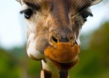 Bozal adorable de una jirafa Foto de archivo libre de regalías