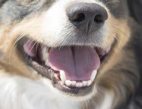 Bozal australiano del pastor de la raza del perro Fotografía de archivo