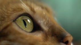 Bozal de un gato de Bengala almacen de metraje de vídeo