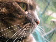 Bozal de un gato gris Imagen de archivo