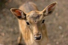 Bozal de un pequeño ciervo foto de archivo