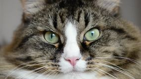 Bozal de un primer del gato almacen de metraje de vídeo