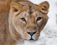 Bozal de un primer femenino del león de la leona, la derecha despredadora de los ojos marrones hambrientos apasionados codiciosos foto de archivo